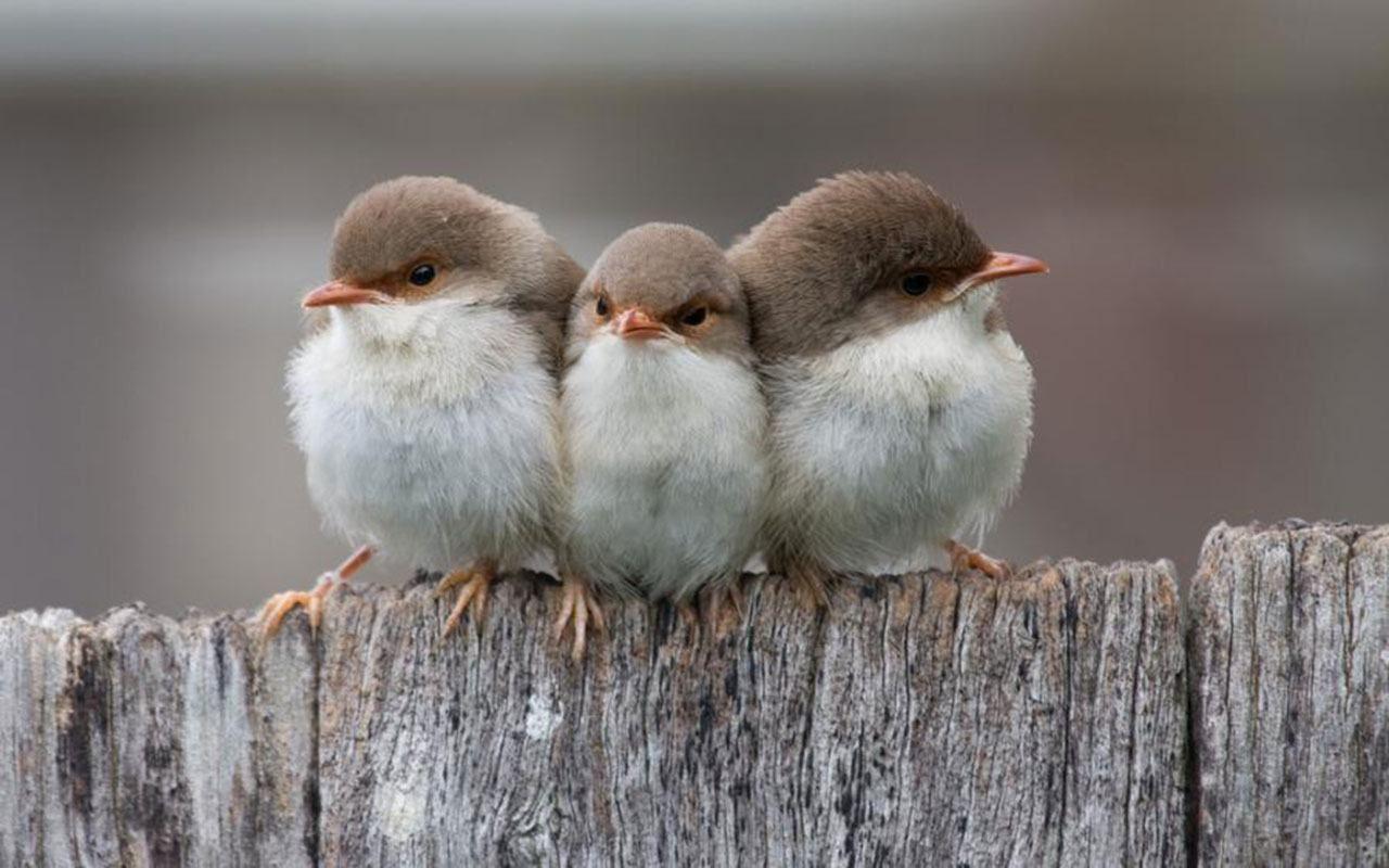 Superb fairy-wrens (Malurus cyaneus), juveniles