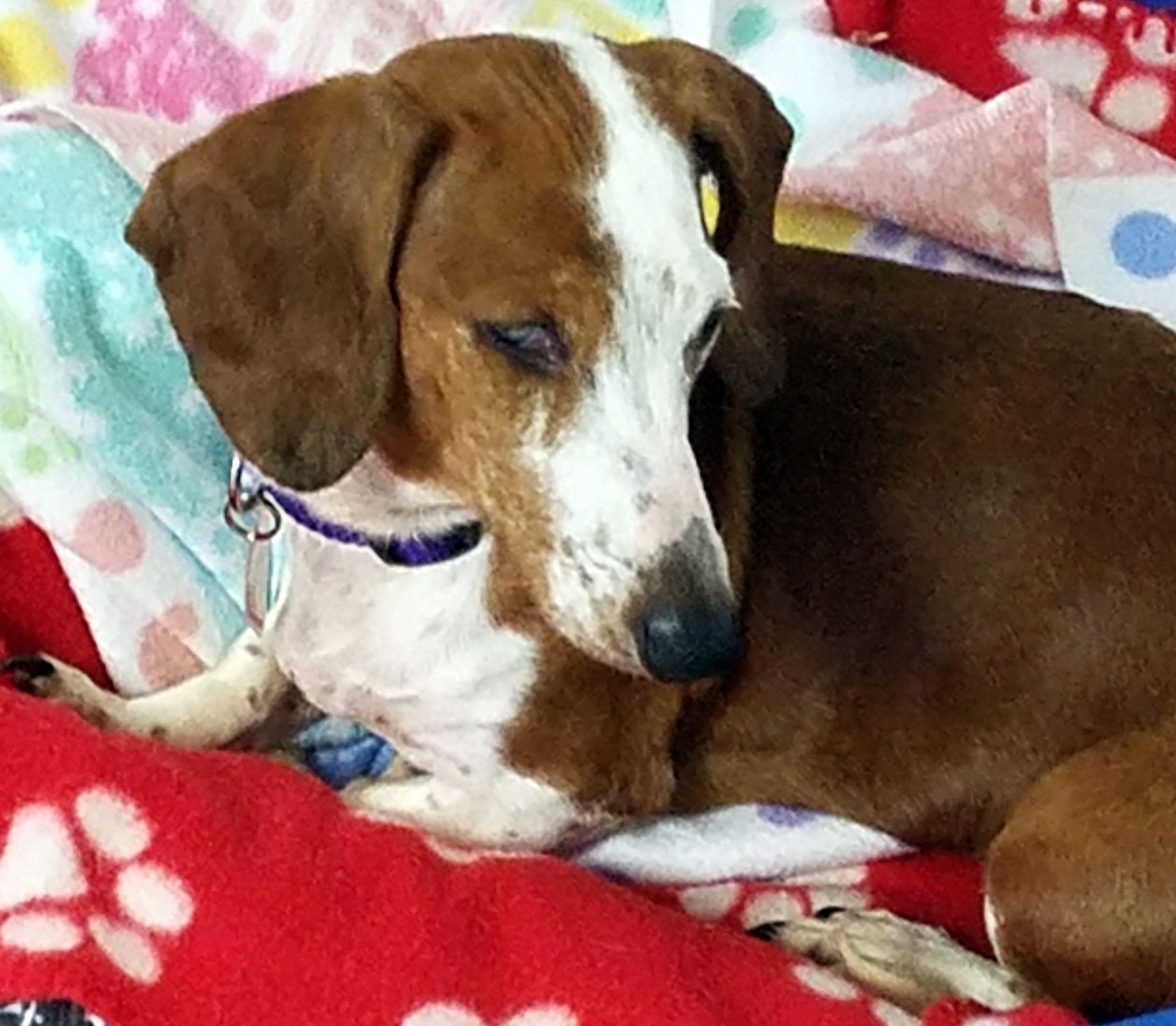 Dachshund dog for Adoption in Lewisburg, TN. ADN532386 on