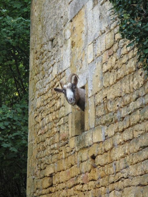 A goat peeking out of a window of the Chateau Pierrelacy (16th century) in the Dordogne, France