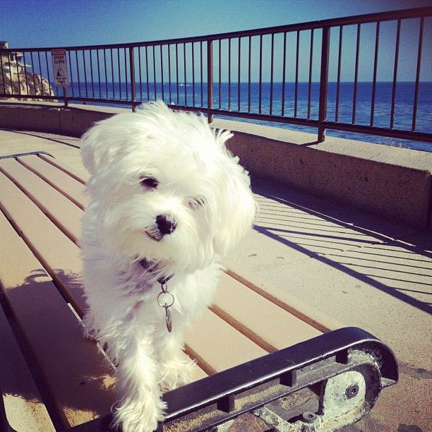 Maltese By The Ocean Maltese Dogs Cutest Dog Ever Love Pet