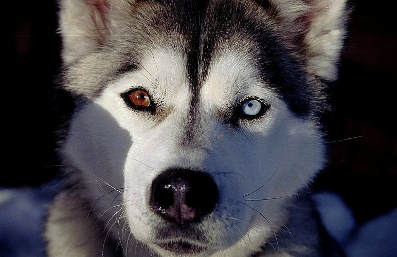Neeeeed Him Bi Eyed Siberian Husky With Images Husky Dogs