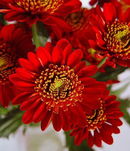 Flores De Crisantemos Rojos Blooming Flowers Beautiful Flowers