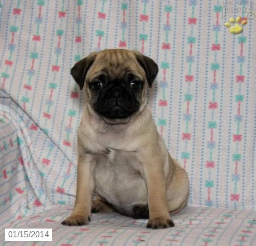 Pug Puppy For Sale Pug Puppies Pug Puppies For Sale Pug