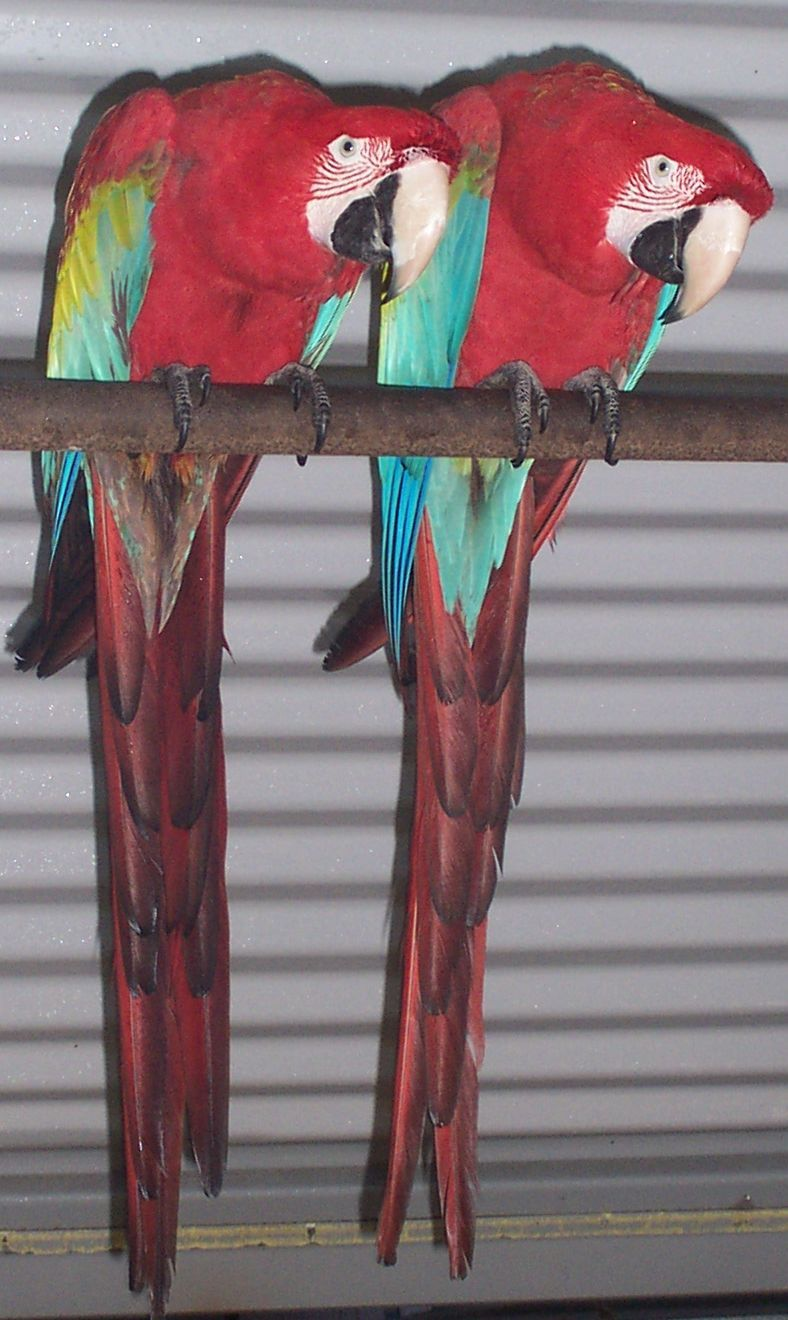 Greenwing Macaws