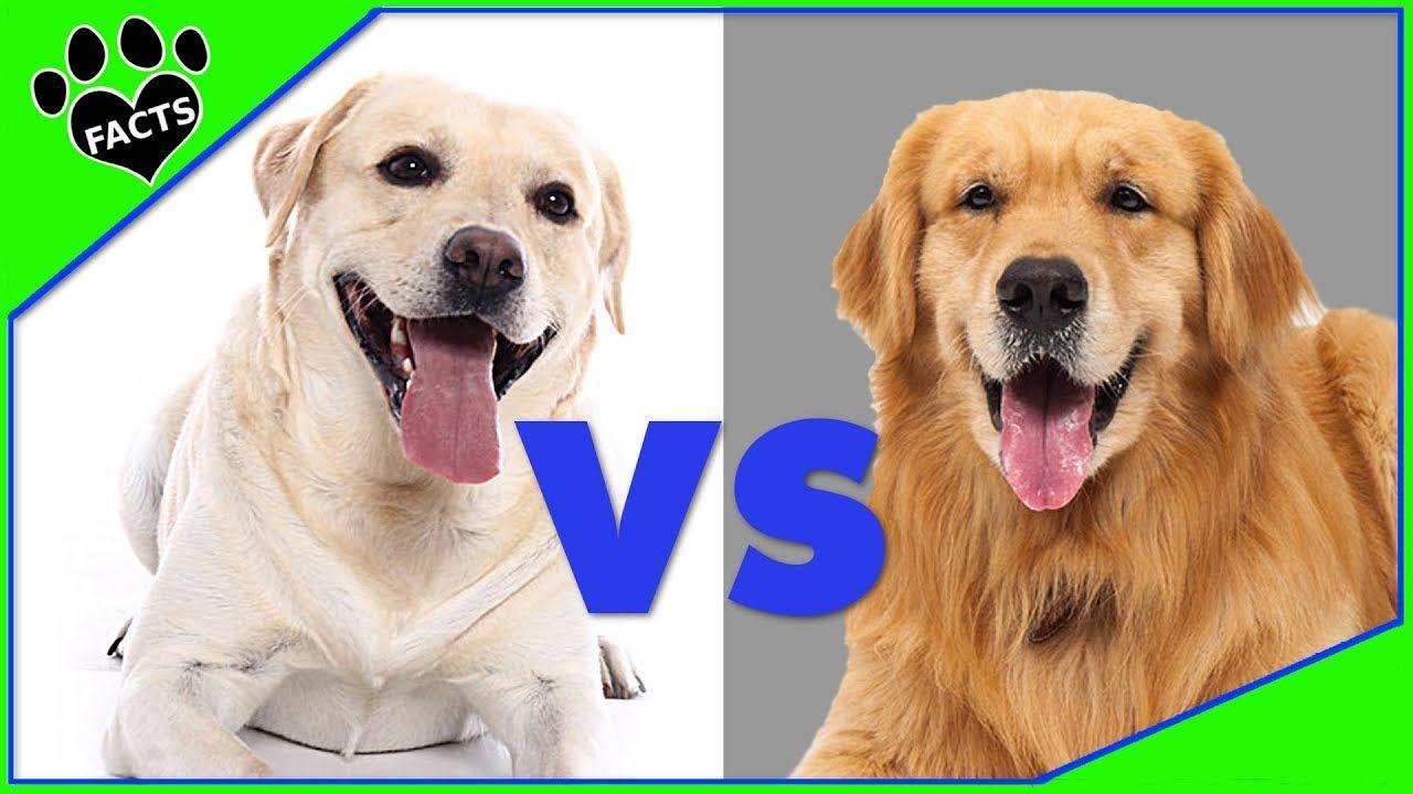 Labrador Retriever Vs Golden Retriever Dog Vs Dog Comparison Animal Facts Labrador Retriever Golden Retriever Vs Labrador Dog Vs Dog