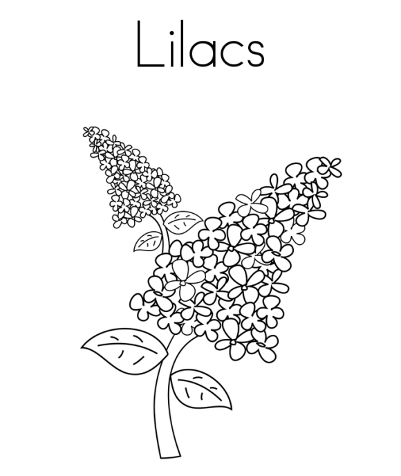 lilac flower coloring pages etch