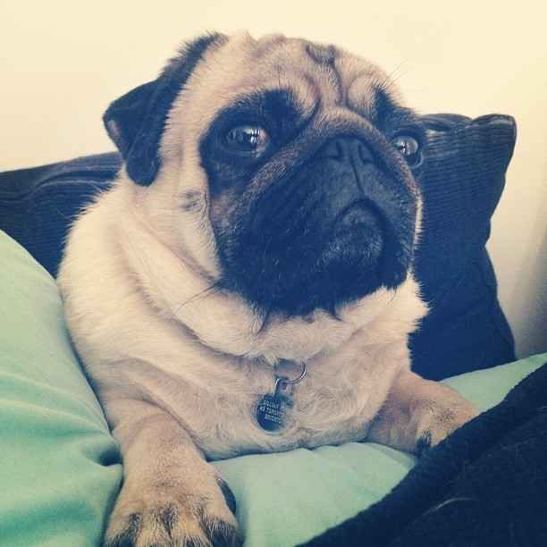 Homeatlast This Cute Pug Found In Tucson Pima Is Back Home