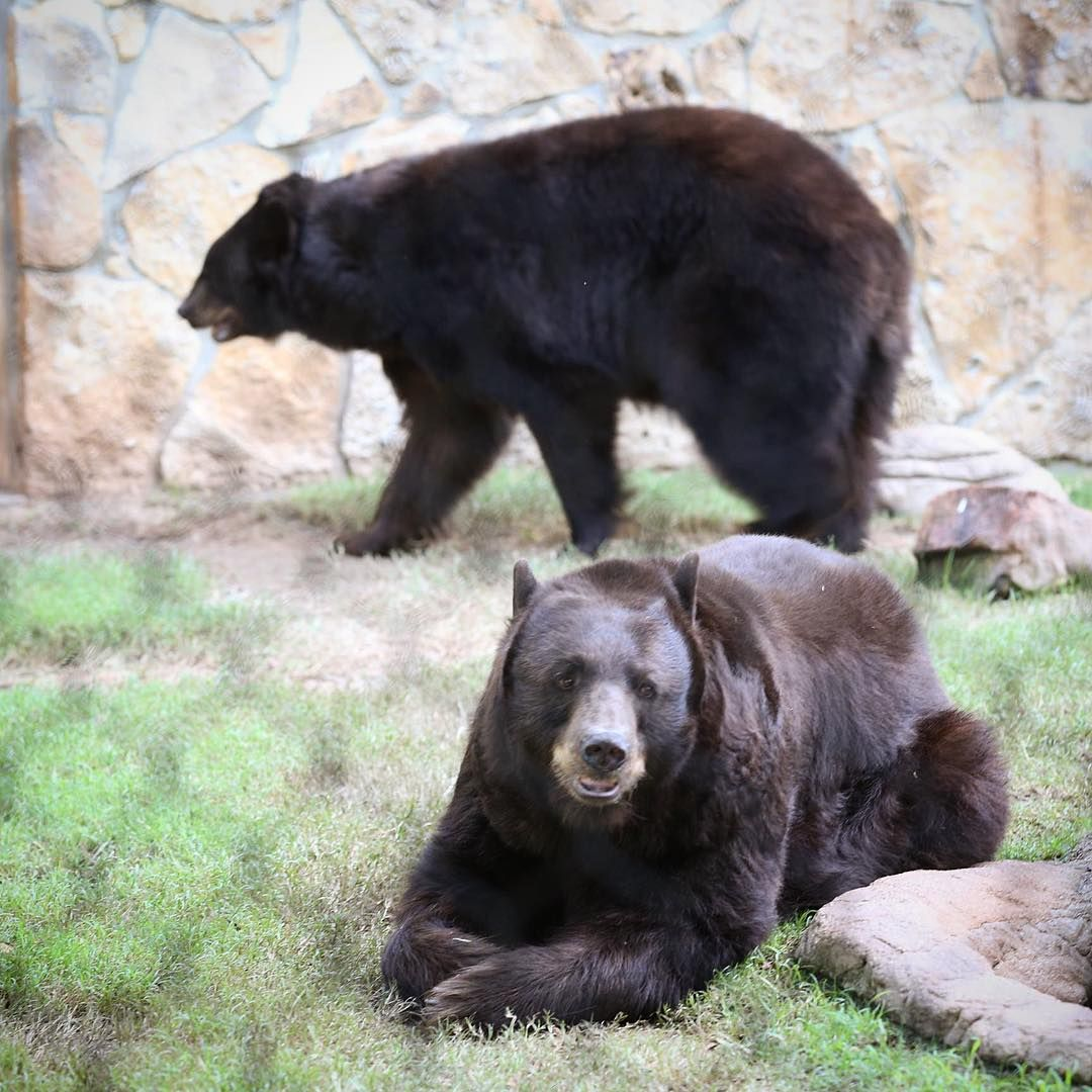 Baylor University S On Campus Bears Sisters Joy And Lady Live Bears Baylor Bear Bear