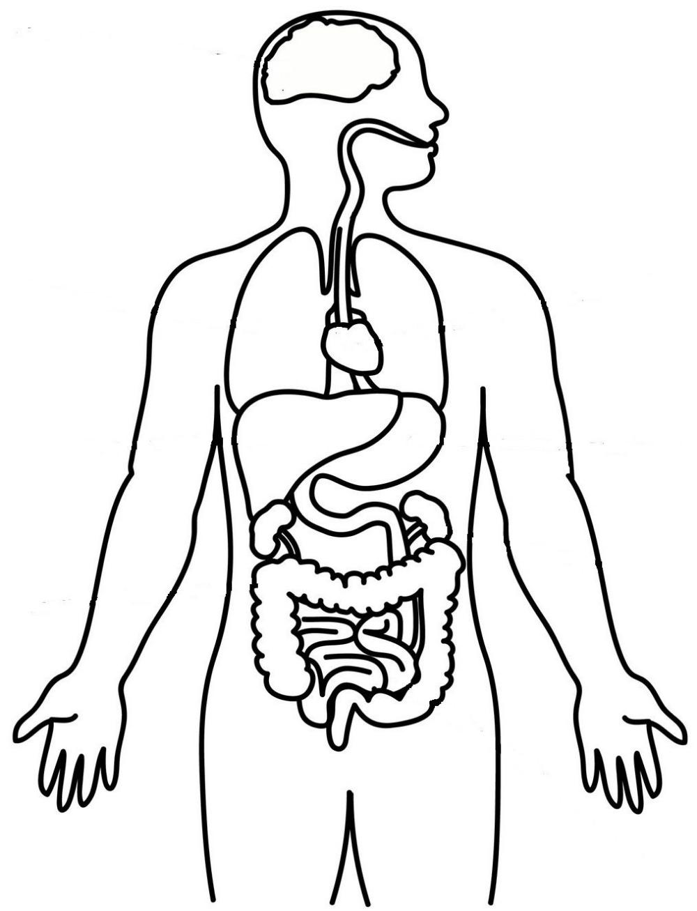 Dibujos Del Tronco Humano Con Los Organos Para Colorear Buscar Con Google Organos Del Cuerpo Humano Sistemas Del Cuerpo Humano Interior Del Cuerpo Humano