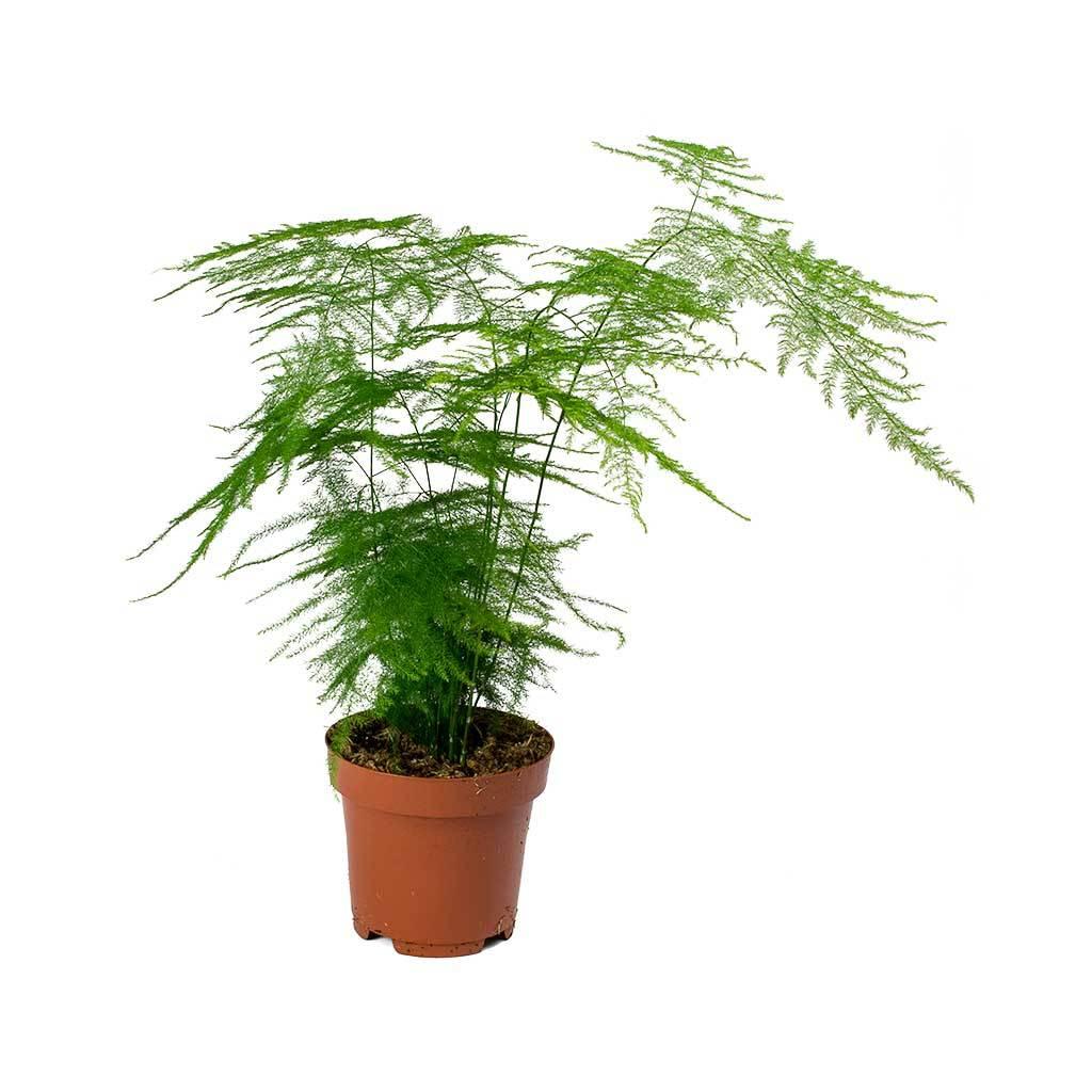 Does Asparagus Fern Flower