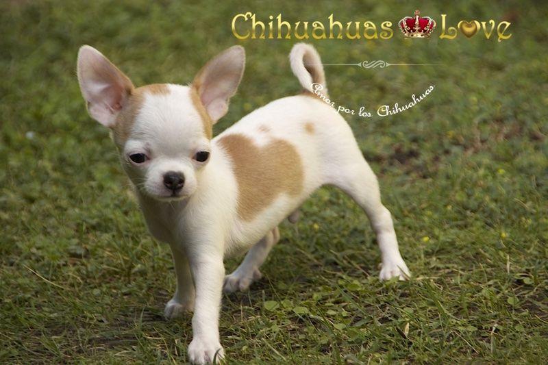 Genetica Raza Chihuahua Chihuahua Cuties Chihuahua Love