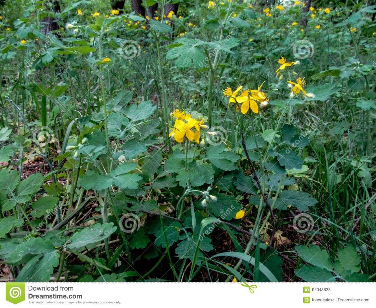 Wild Healing Plant Celandine With Yellow Flowers Stock Image Image