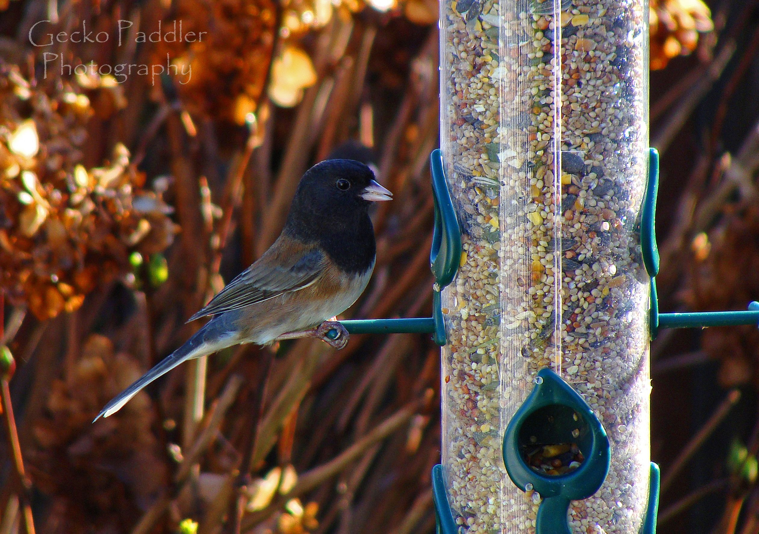 Lots of Junco's around the feeders this morning. This Oregon Junco caught my attention.