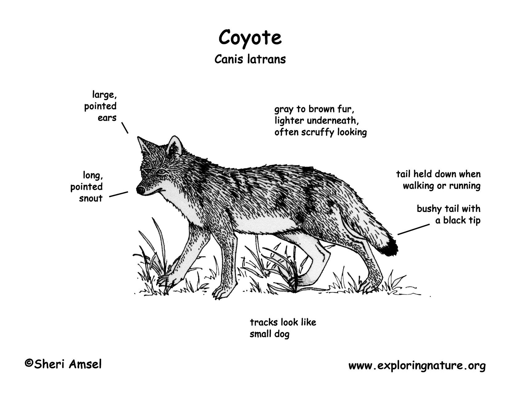 What Does A Coyote Look Like