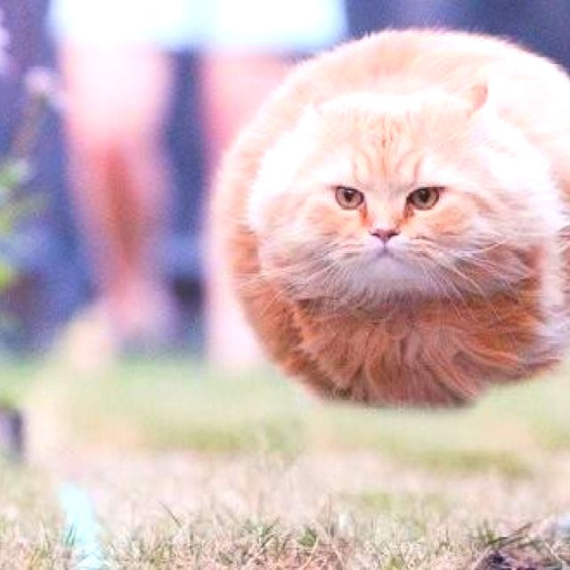 Puffball cat!