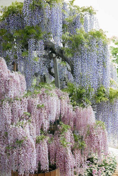 Wisteria Ashikaga Flower Park Tochigi Japan Beautiful Flowers Plants Beautiful Gardens