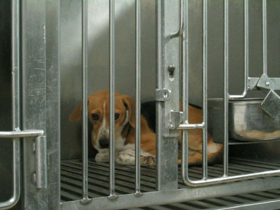 You Can Save A Beagle Trapped Inside A Lab By Adopting One Now