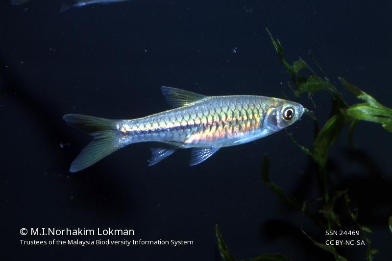 Rasbora Paucisqualis Biodiversity Photo Fish Pet
