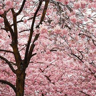 🌸 -- #얼스타그램 #데일리 #팔로우 #좋아요 #대일리그램 #instadaily #dailylook #daily #소통 #맞팔 #vsco #vscocam #auckland #ootd #봄 #spring #cherryblossom