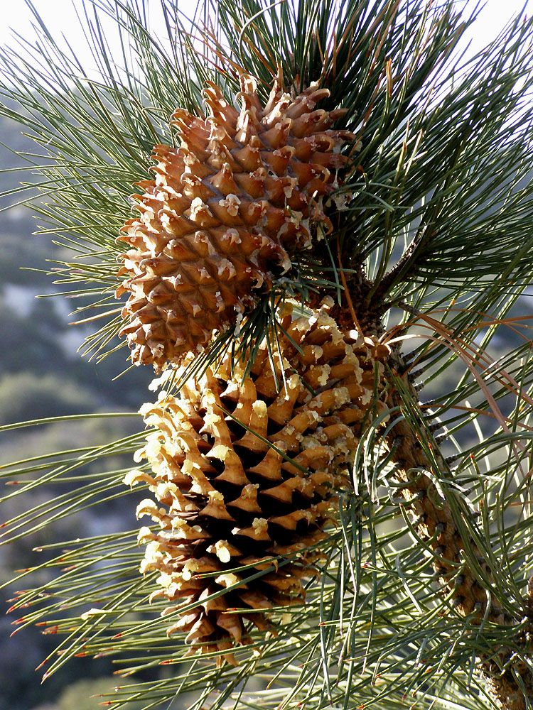 Coulter Pine Pinus Coulteri Heaviest Cones In The World
