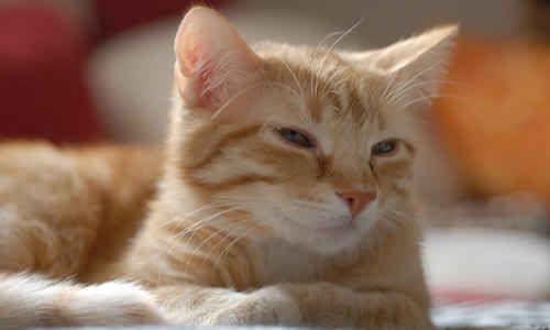 Razas de gatos con pelo corto