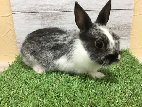 ミニウサギ 八王子店 ペットショップのコジマ ペットショップ ミニウサギ ペット