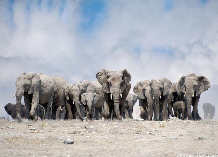 Слоны в Африке.