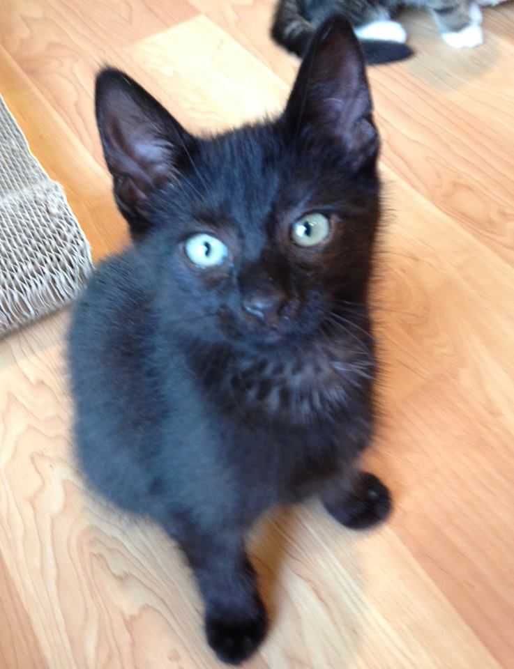 Luke Is A Very Sweet 11 Week Old Kitten He Is Playful And Friendly He Likes Other Cats And Loves To Cuddle To Adopt Him Is 120 00 Kittens Adoption Cuddling