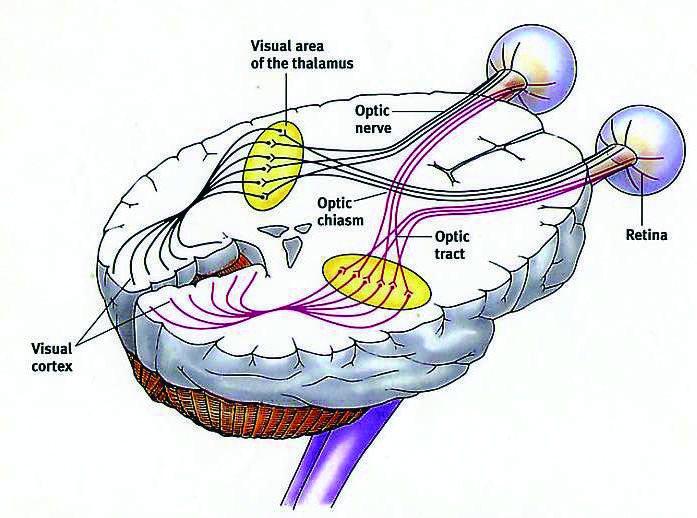 Vision Therapy Nerve Pathways Tbi Pinterest Vision Therapy