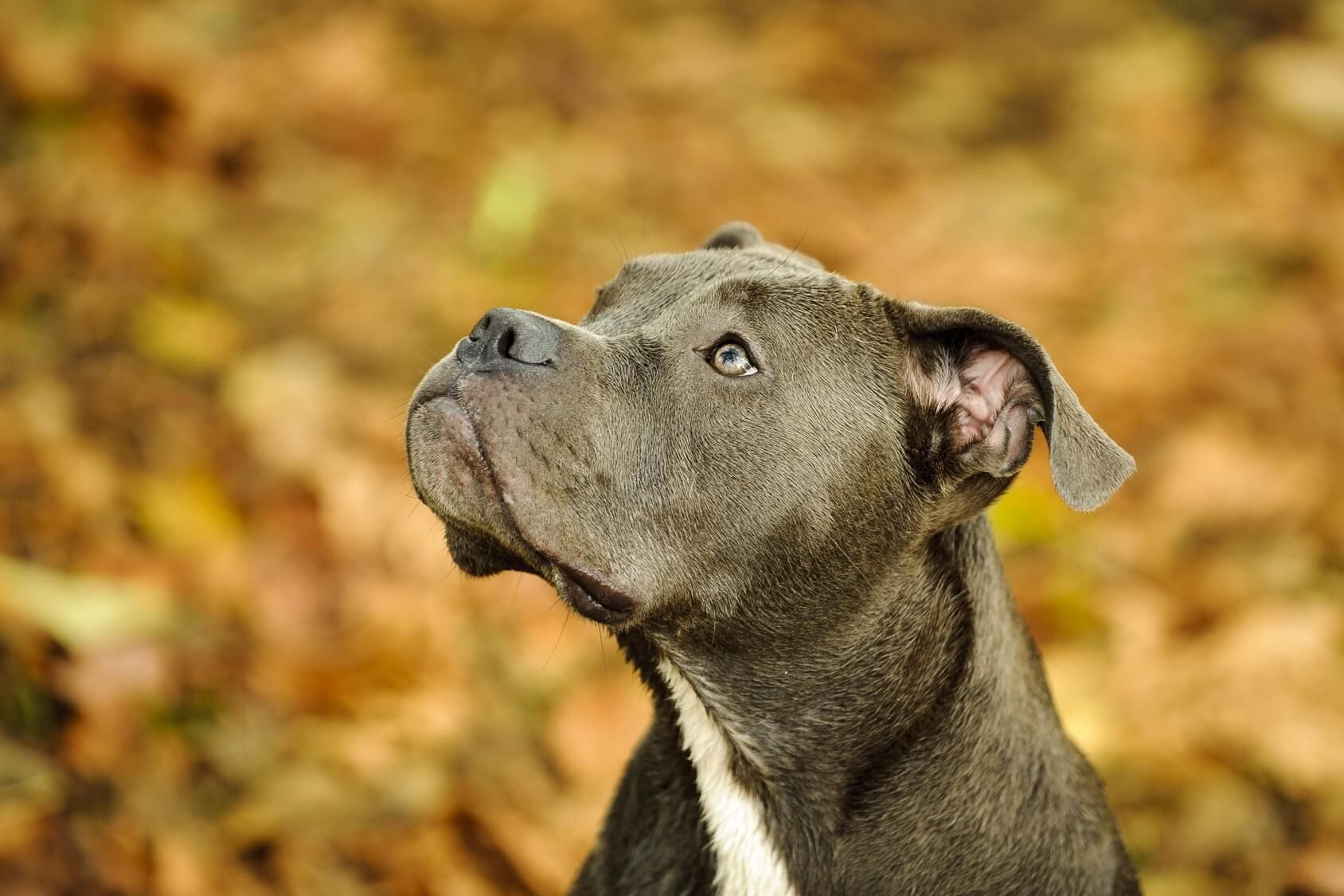 Blue Nose Pitbull Dog Breed Information And Owner S Guide In 2020
