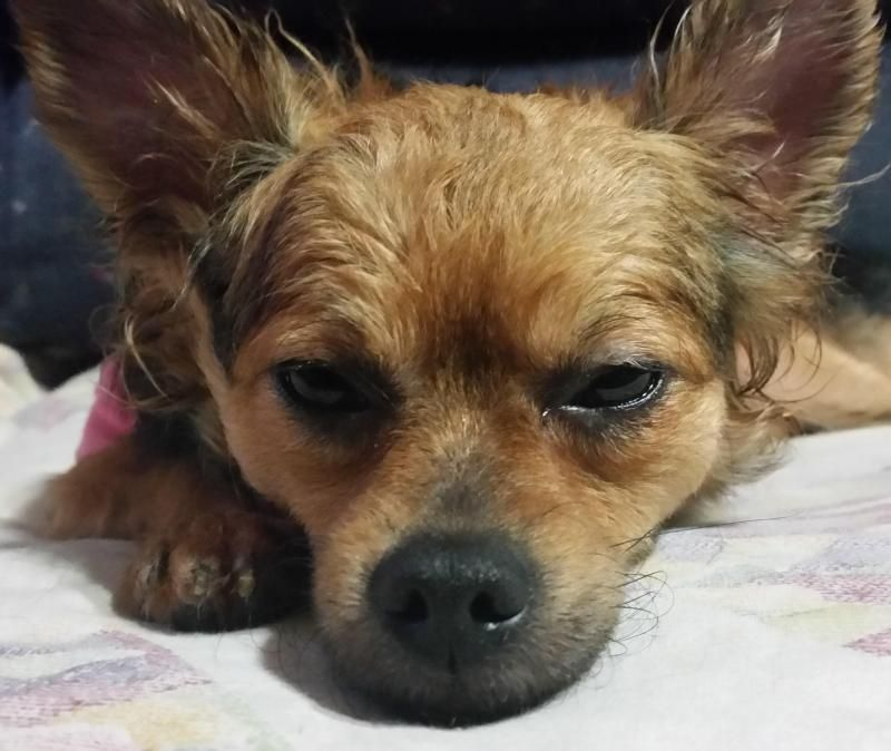 Adopt Desiree on Pets, Yorkshire terrier, Pet adoption