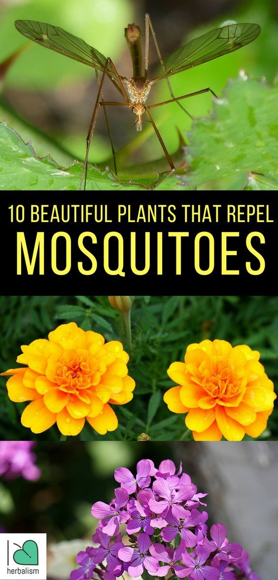 10 Beautiful Plants That Repel Mosquitoes #mosquitoplants