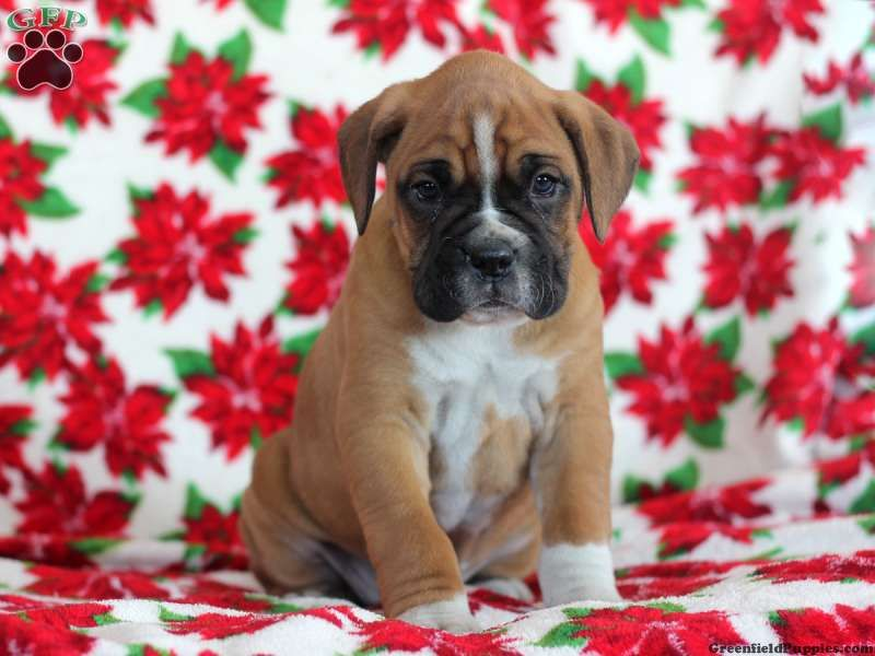 Winston Boxer Puppy For Sale In Honeybrook Pa Boxer Puppies