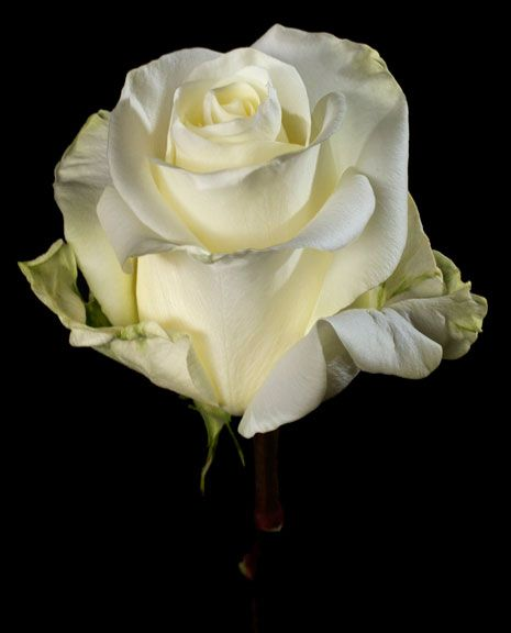 Athena Is A White Color Rose Large Headed Variety That Opens Very Well And Has A Relatively Long Vase Life And Available To For Hybrid Tea Roses Rose Flowers