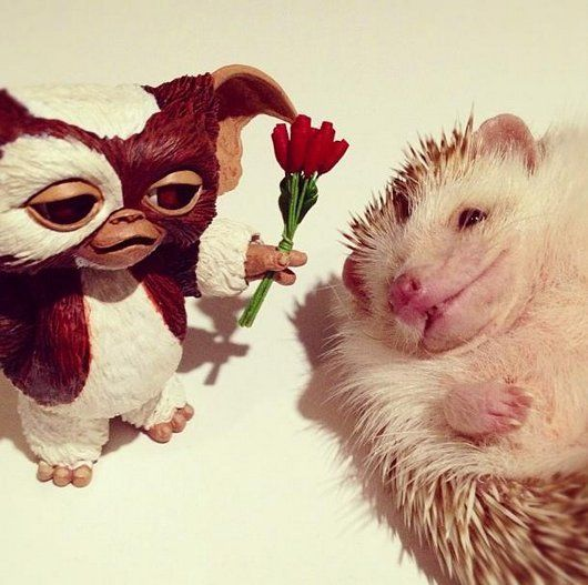 Darcy The Cutest Hedgehog Photo Ideas Pinterest Hedgehogs - Darcy cutest hedgehog ever