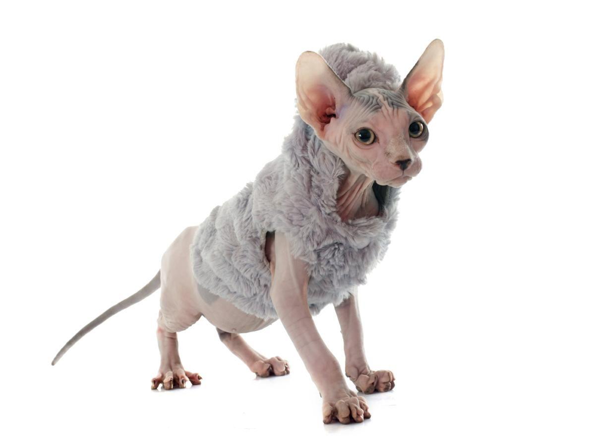 Dressed Sphynx Cat Cat Care Cat Adoption Sphynx Cat