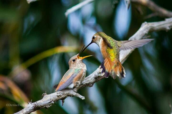 Pair of hummingbirds.......