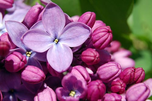 Books By 1 Bestselling Author Flower Photos Lilac Flowers Lilac