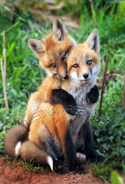 Photo of Red Foxes by Prince Edward Island Photographer Leona Arsenault