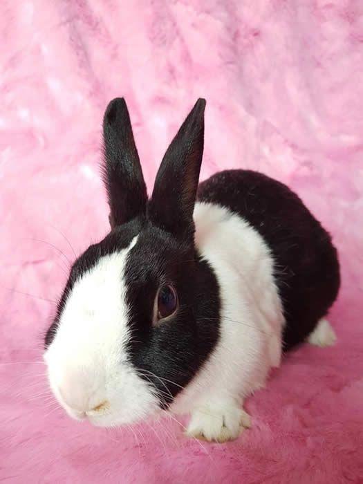 Pin By Rescue Pets On Bunnies Dutch In Rescue Rabbit Adoption Dutch Rabbit Rabbit