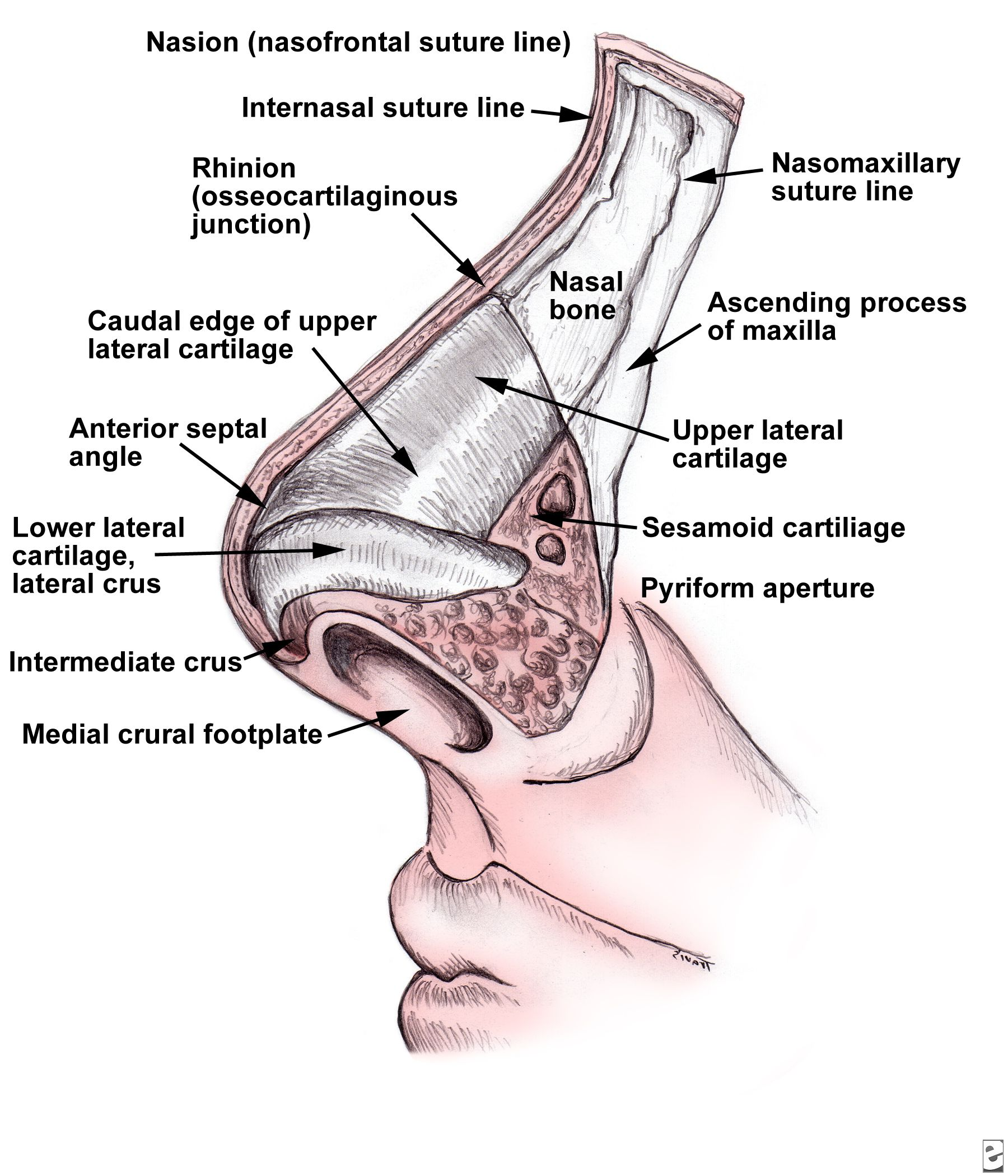 Nasal Anatomy Nasal Skin Has An Abundant Blood Supply And Tends To