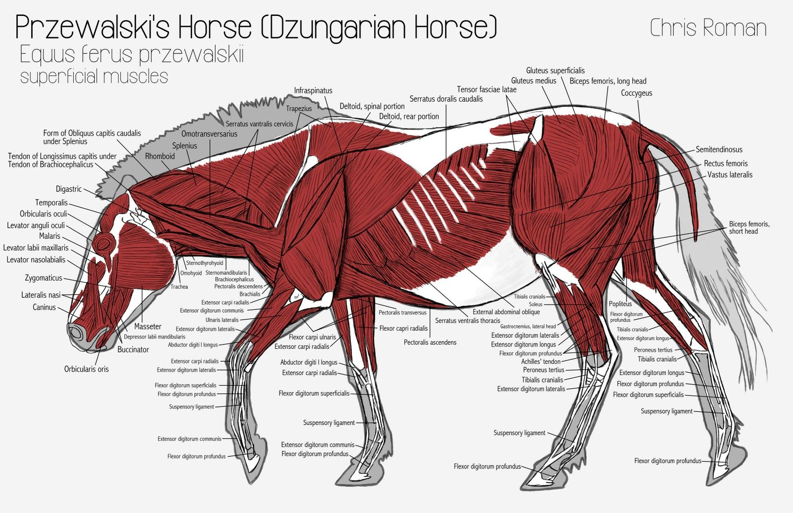 horse anatomy diagram muscles labled of the lungs pin by mohammed anuz on animals horses photos new
