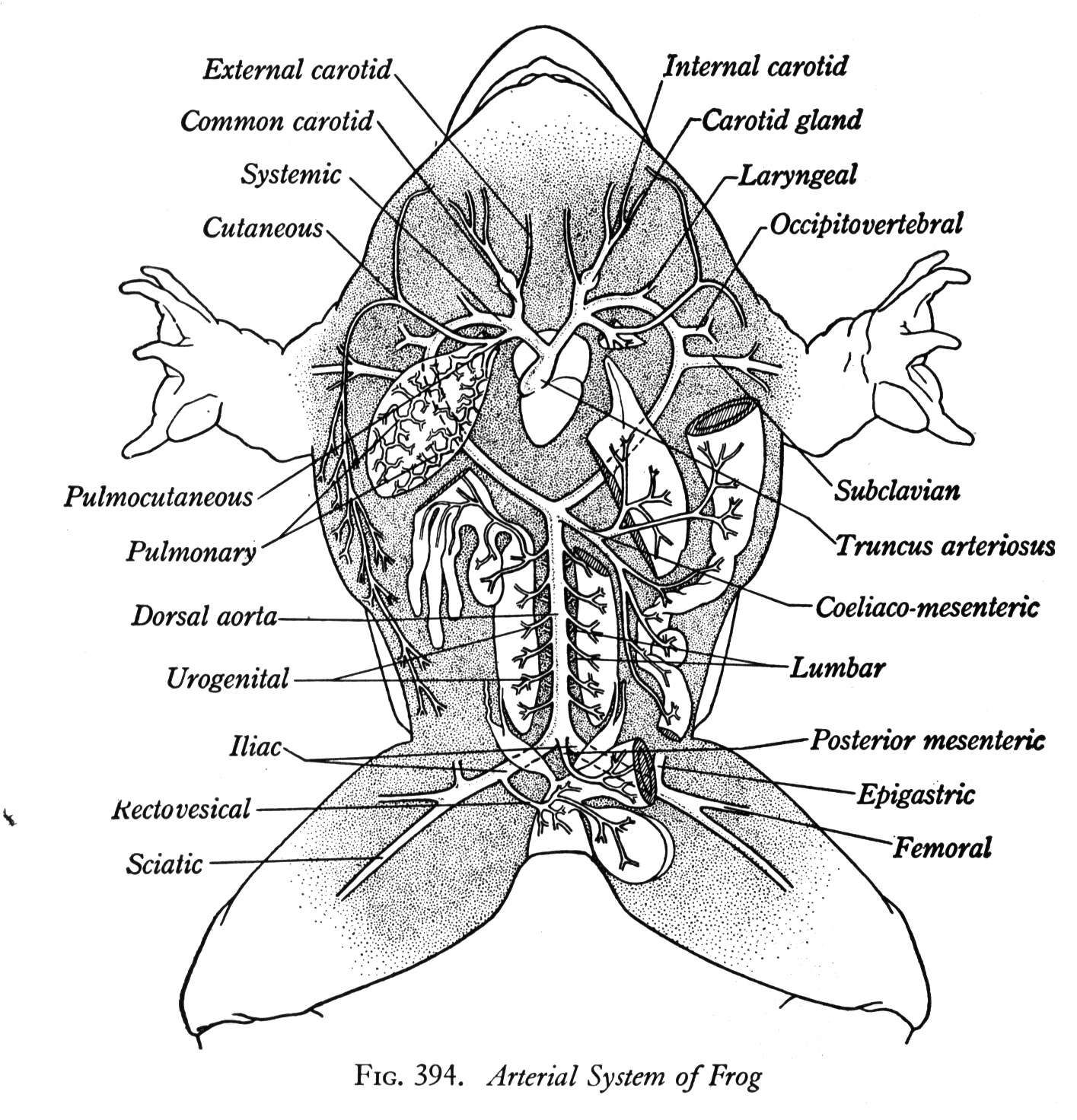 Diagram Of Male Kidneys