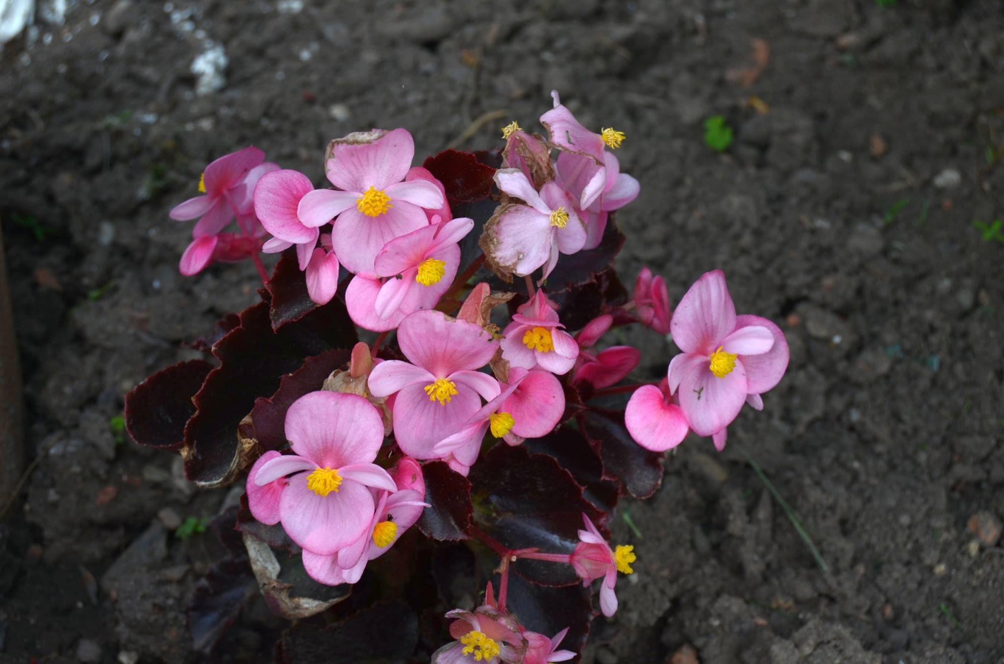 Halálfejű kerti virágok