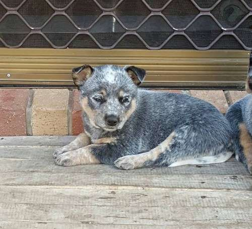 Pure Breed Cattle Dog Pups Cattle Dog Best Guard Dogs Red Heeler Puppies