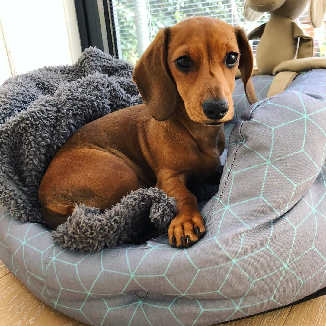 Dachshund Products Apparel And Gifts Dachshund Puppies Weiner