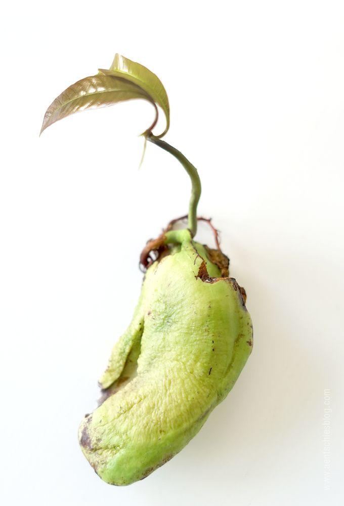 Mangopflanze selber ziehen
