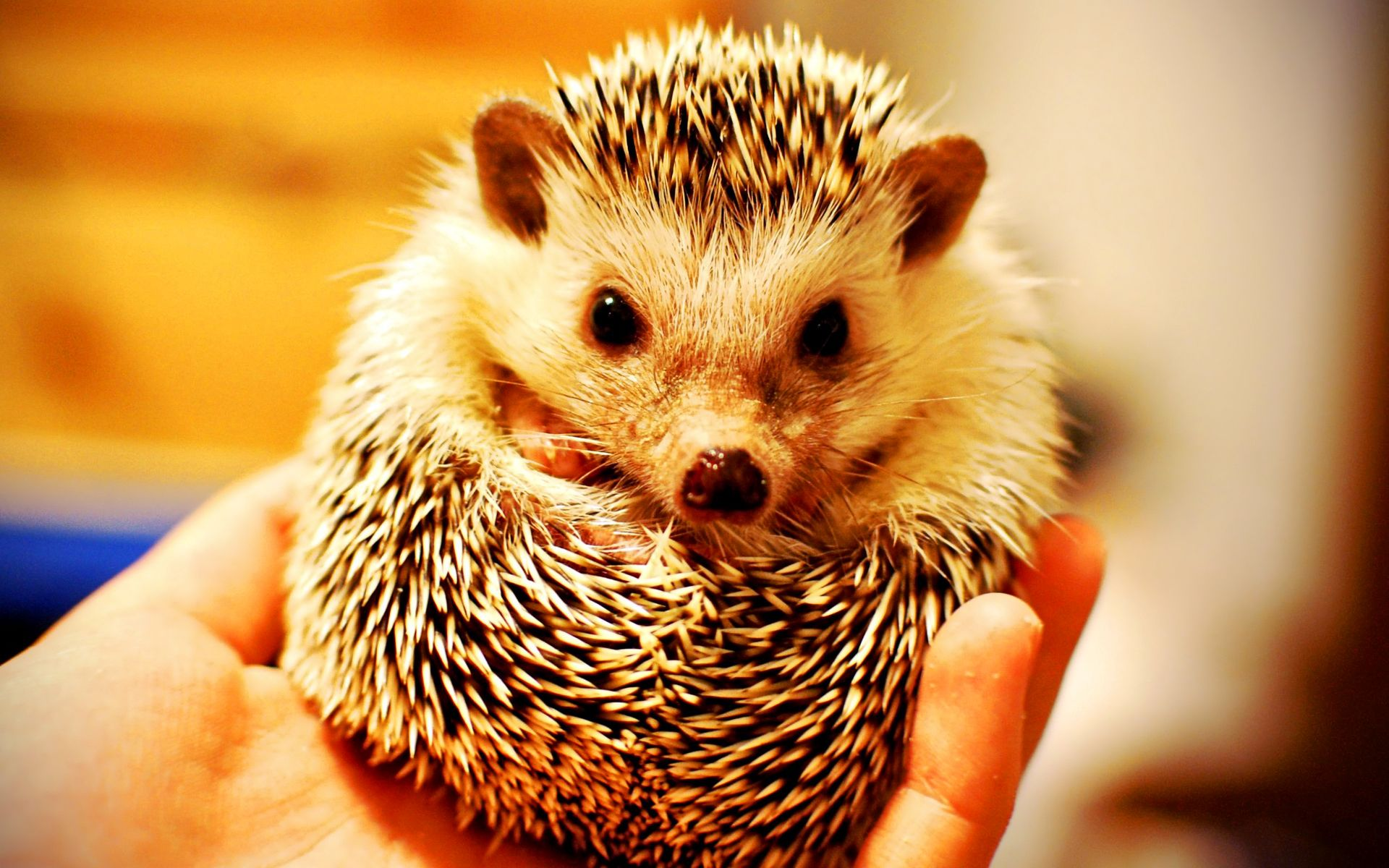 Hedgehog Hedgehog Pet Baby Hedgehog Cutest Animals On Earth