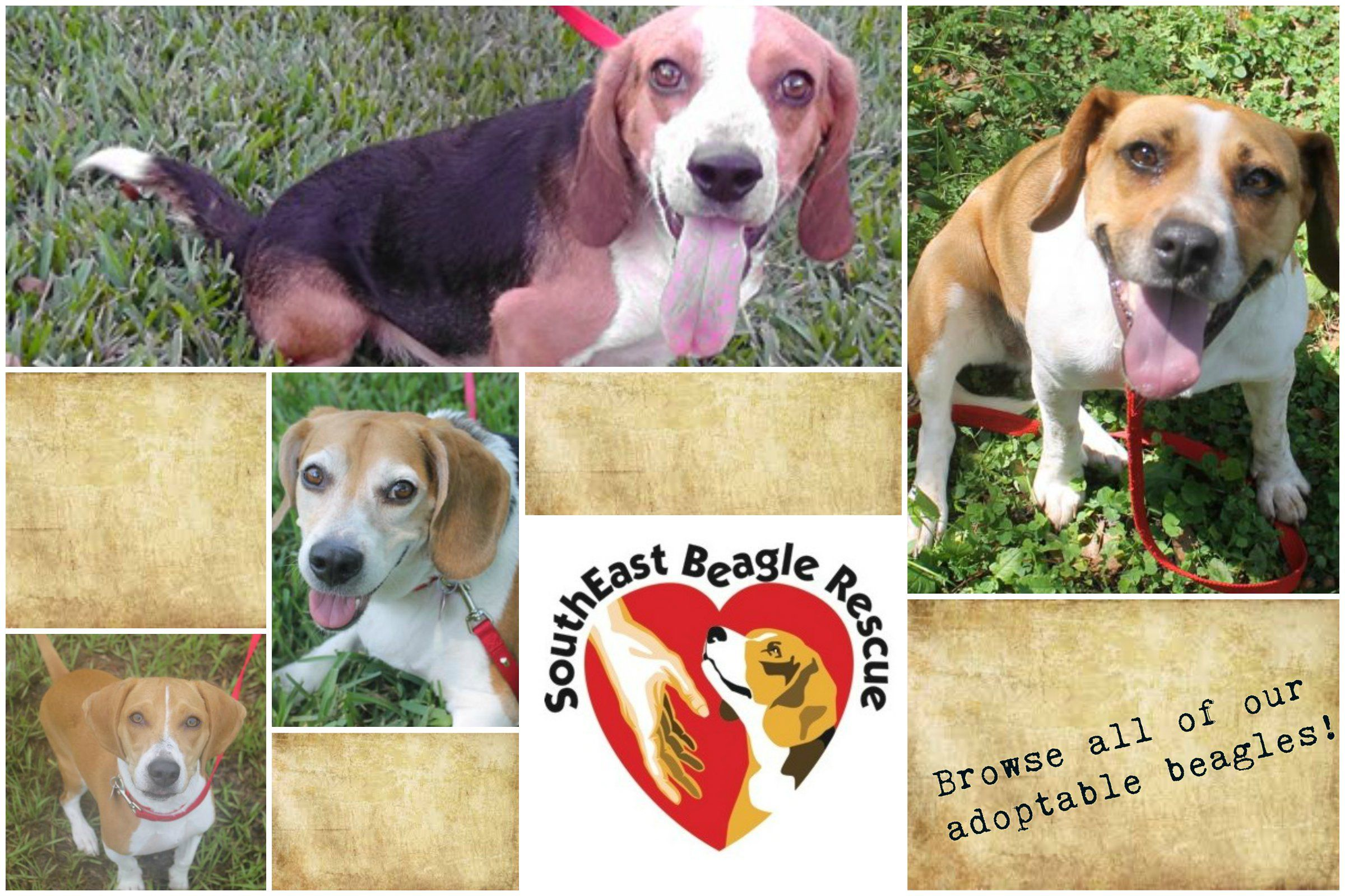 Southeast Beagle Rescue Beagle Foster Dog