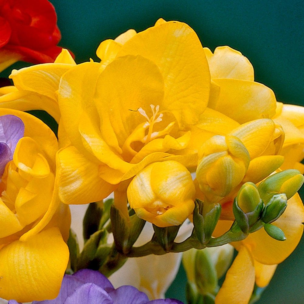 Freesia Giant Double Yellow Flower Care Freesia Flowers Flowers
